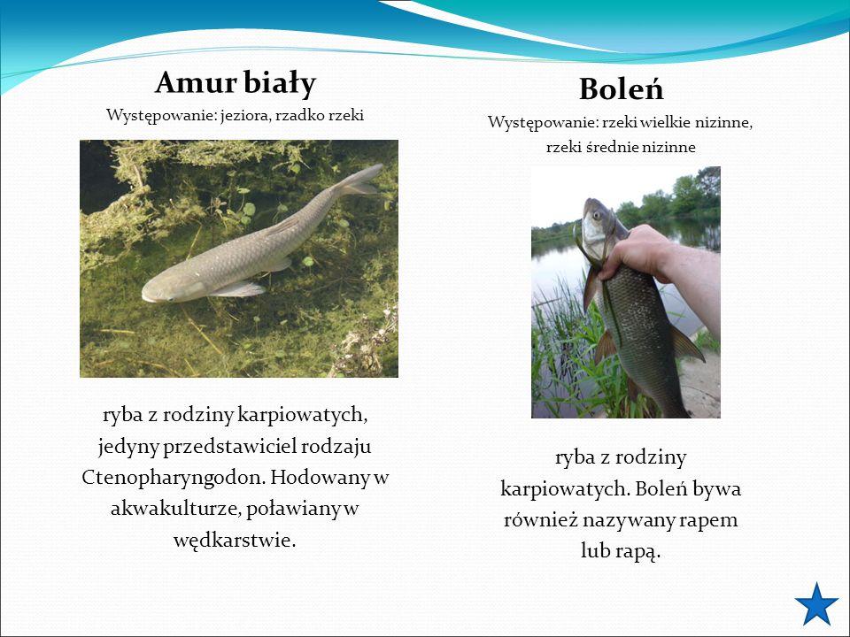 Amur biały Występowanie: jeziora, rzadko rzeki ryba z rodziny karpiowatych, jedyny przedstawiciel rodzaju Ctenopharyngodon. Hodowany w akwakulturze, p