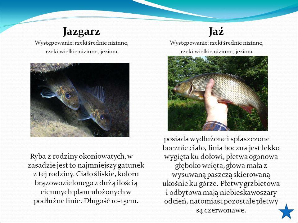 Jazgarz Występowanie: rzeki średnie nizinne, rzeki wielkie nizinne, jeziora Ryba z rodziny okoniowatych, w zasadzie jest to najmniejszy gatunek z tej rodziny.
