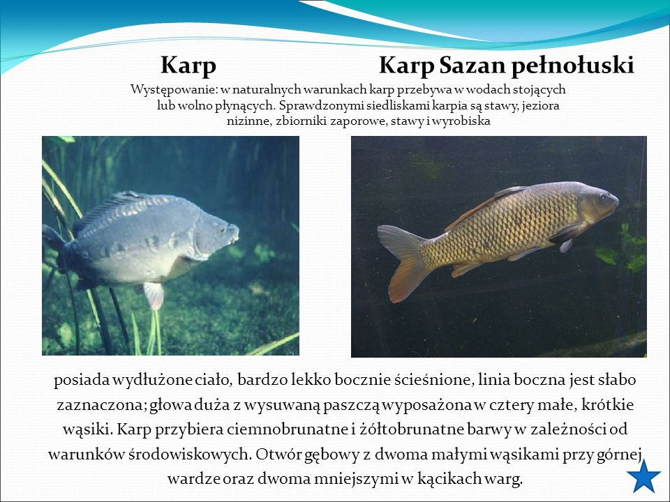 Karp Karp Sazan pełnołuski Występowanie: w naturalnych warunkach karp przebywa w wodach stojących lub wolno płynących.