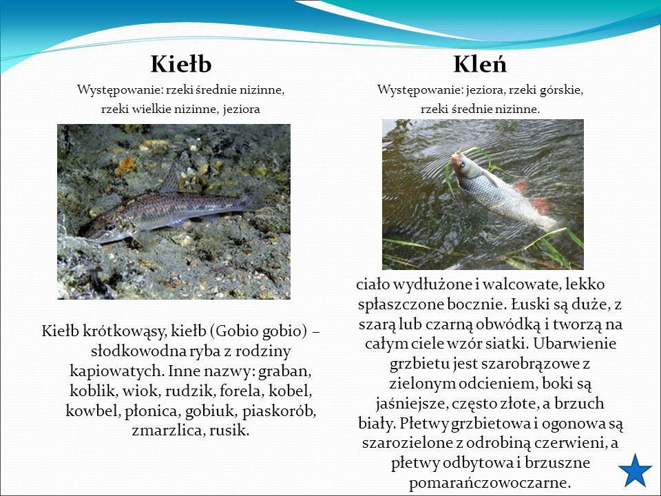 Kiełb Występowanie: rzeki średnie nizinne, rzeki wielkie nizinne, jeziora Kiełb krótkowąsy, kiełb (Gobio gobio) – słodkowodna ryba z rodziny kapiowaty