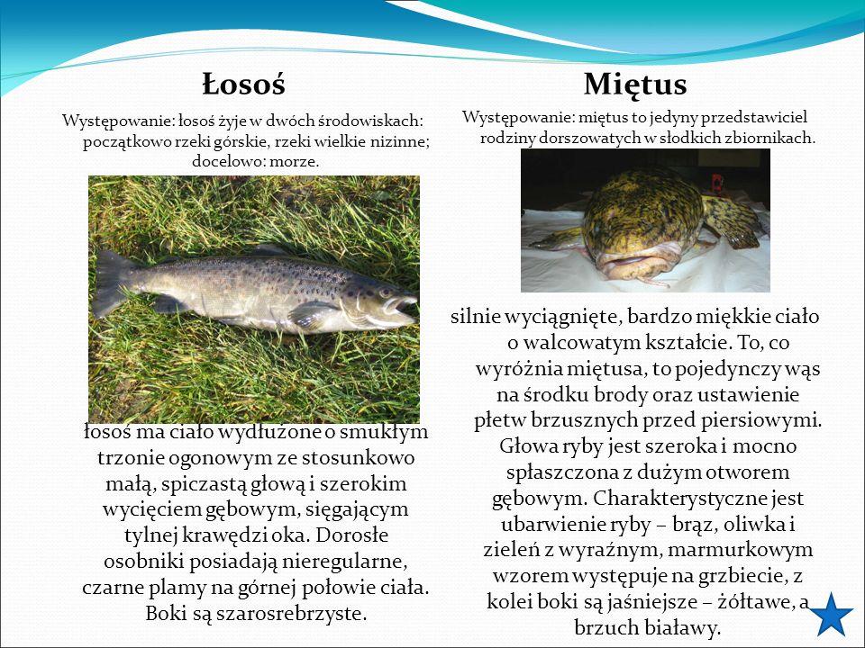Łosoś Występowanie: łosoś żyje w dwóch środowiskach: początkowo rzeki górskie, rzeki wielkie nizinne; docelowo: morze. łosoś ma ciało wydłużone o smuk