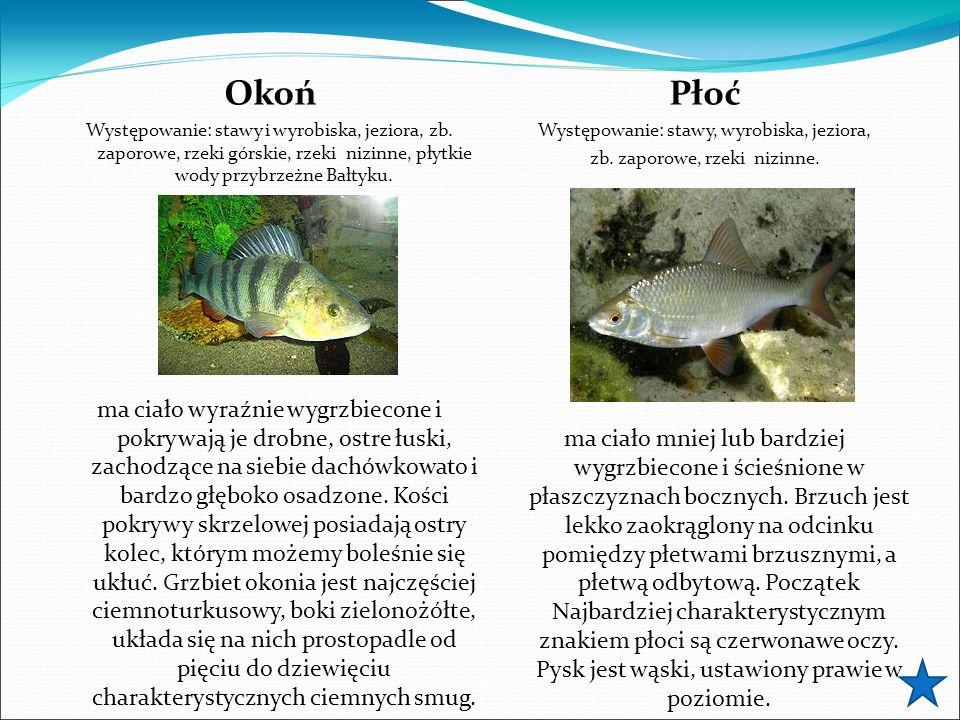 Okoń Występowanie: stawy i wyrobiska, jeziora, zb. zaporowe, rzeki górskie, rzeki nizinne, płytkie wody przybrzeżne Bałtyku. ma ciało wyraźnie wygrzbi