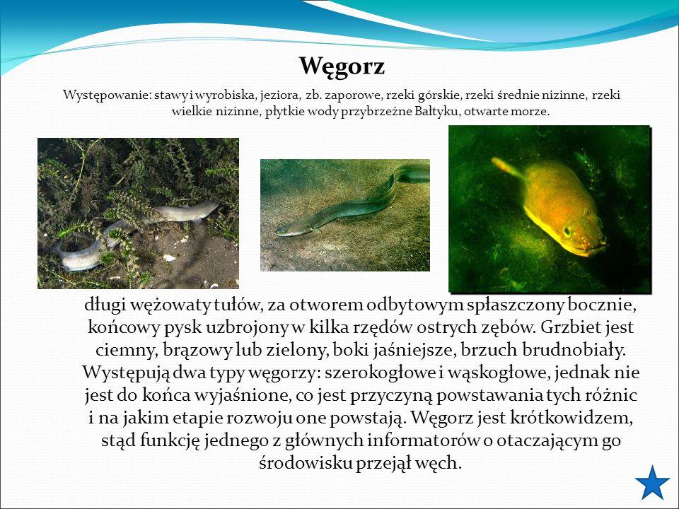 Węgorz Występowanie: stawy i wyrobiska, jeziora, zb.