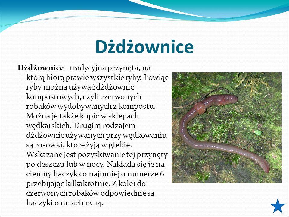 Dżdżownice Dżdżownice - tradycyjna przynęta, na którą biorą prawie wszystkie ryby. Łowiąc ryby można używać dżdżownic kompostowych, czyli czerwonych r