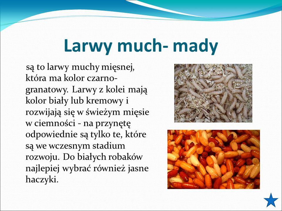 Larwy much- mady są to larwy muchy mięsnej, która ma kolor czarno- granatowy.