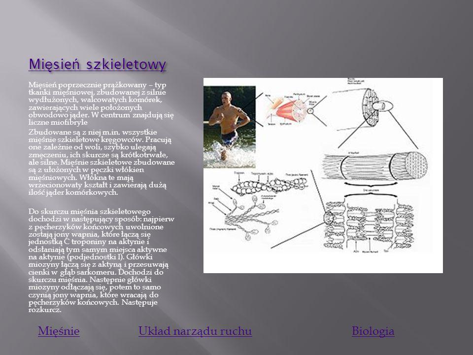 Mi ę sie ń g ł adki Mi ę sie ń g ł adki Tkanka mięśniowa gładka - rodzaj tkanki mięśniowej, która składa się z wrzecionowatych komórek, zawierających