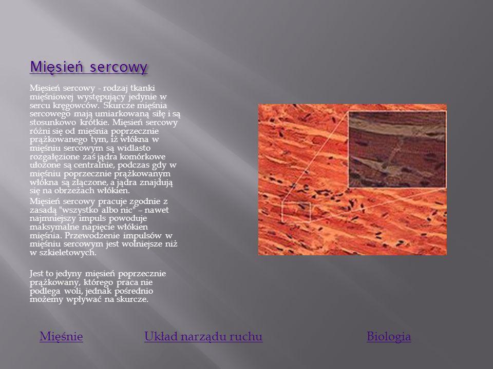 Mi ę sie ń szkieletowy Mi ę sie ń szkieletowy Mięsień poprzecznie prążkowany – typ tkanki mięśniowej, zbudowanej z silnie wydłużonych, walcowatych kom