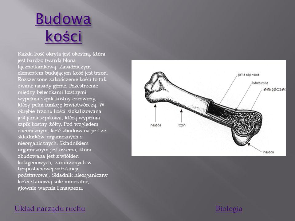 Szkielet U człowieka dorosłego szkielet składa się z około 206 kości. U starszych ludzi kości może być mniej niż 206 ze względu na zrastanie kości cza