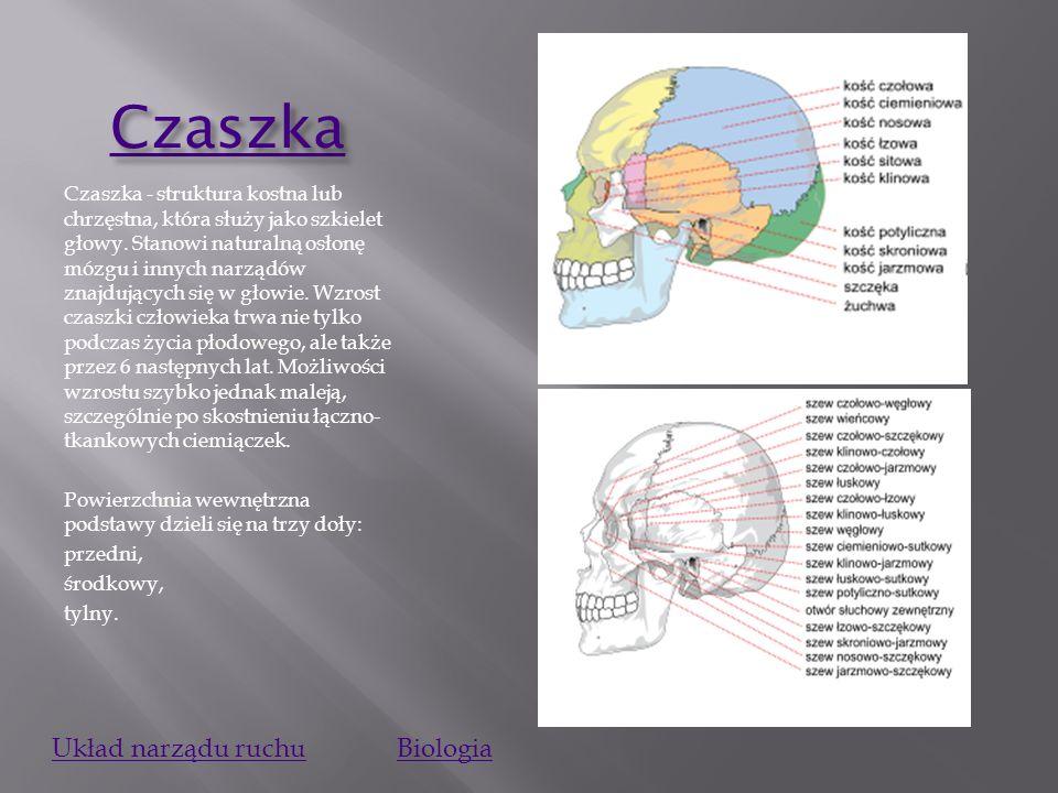 Czaszka Czaszka - struktura kostna lub chrzęstna, która służy jako szkielet głowy.