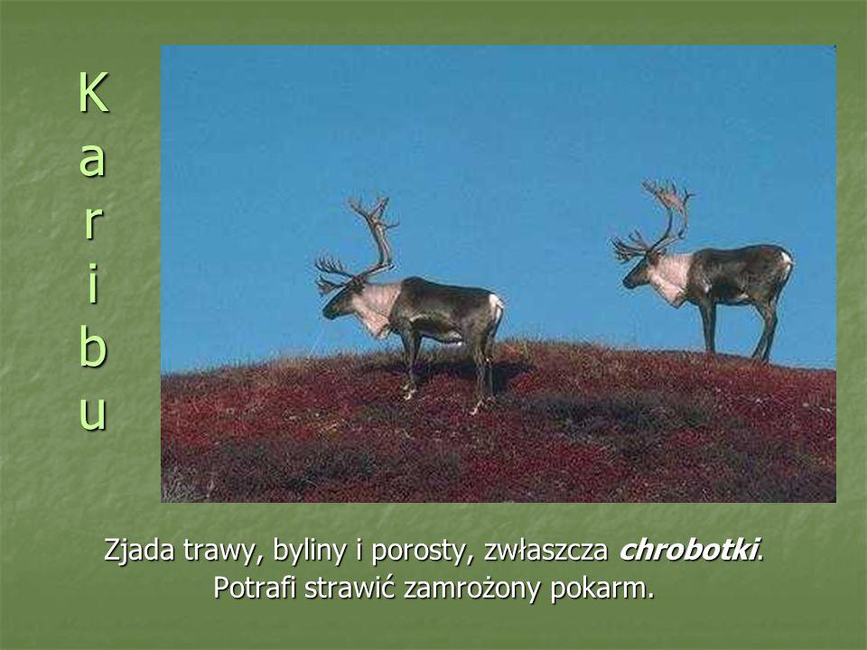 KaribuKaribuKaribuKaribu Zjada trawy, byliny i porosty, zwłaszcza chrobotki.