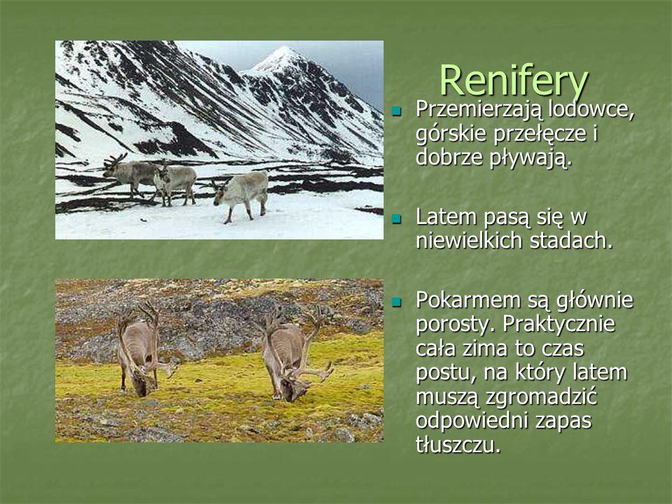 Renifery Przemierzają lodowce, górskie przełęcze i dobrze pływają. Przemierzają lodowce, górskie przełęcze i dobrze pływają. Latem pasą się w niewielk