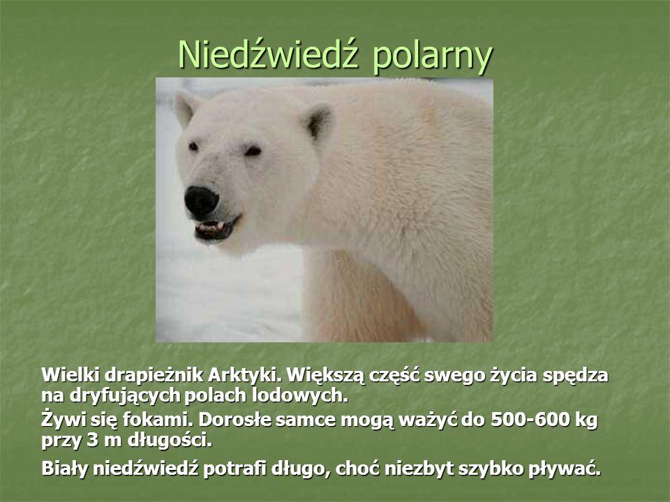 Niedźwiedź polarny Wielki drapieżnik Arktyki.