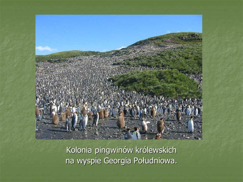 Kolonia pingwinów królewskich na wyspie Georgia Południowa.