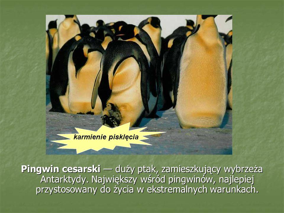 Pingwin cesarski duży ptak, zamieszkujący wybrzeża Antarktydy. Największy wśród pingwinów, najlepiej przystosowany do życia w ekstremalnych warunkach.