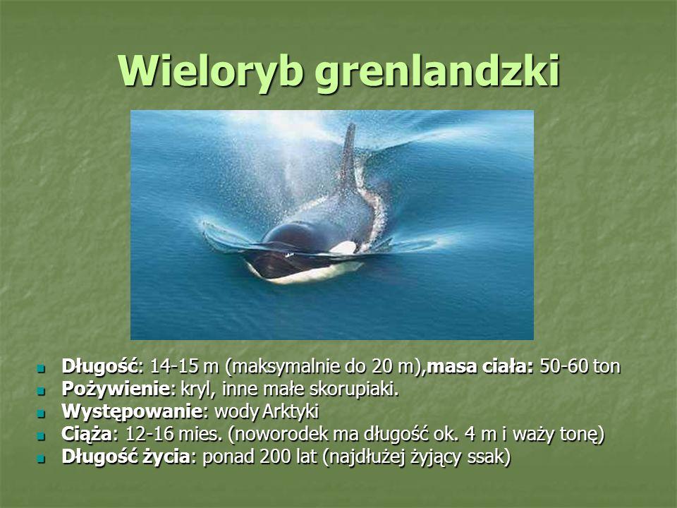 Wieloryb grenlandzki Długość: 14-15 m (maksymalnie do 20 m),masa ciała: 50-60 ton Długość: 14-15 m (maksymalnie do 20 m),masa ciała: 50-60 ton Pożywienie: kryl, inne małe skorupiaki.