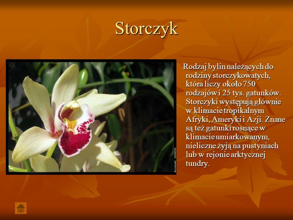 Storczyk Rodzaj bylin należących do rodziny storczykowatych, która liczy około 750 rodzajów i 25 tys. gatunków. Storczyki występują głównie w klimacie