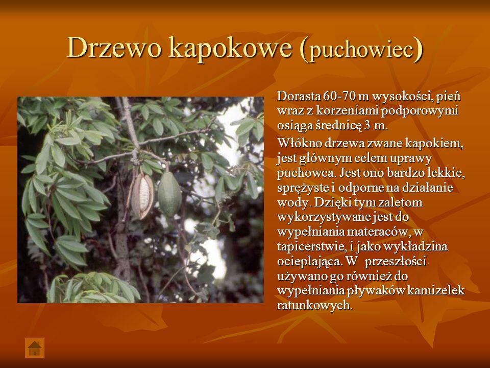 Drzewo kapokowe ( puchowiec ) Dorasta 60-70 m wysokości, pień wraz z korzeniami podporowymi osiąga średnicę 3 m. Włókno drzewa zwane kapokiem, jest gł