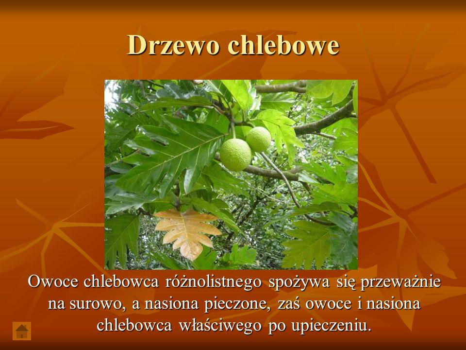 Drzewo chlebowe Owoce chlebowca różnolistnego spożywa się przeważnie na surowo, a nasiona pieczone, zaś owoce i nasiona chlebowca właściwego po upiecz