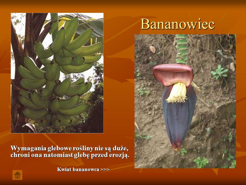 Bananowiec Wymagania glebowe rośliny nie są duże, chroni ona natomiast glebę przed erozją. Kwiat bananowca >>> Kwiat bananowca >>>