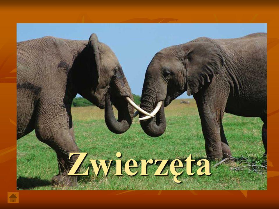 GorylGorylGorylGoryl W Kotlinie Kongo występuje bogactwo gatunków świata zwierzęcego, wśród ssaków: małpy, także człekokształtne.