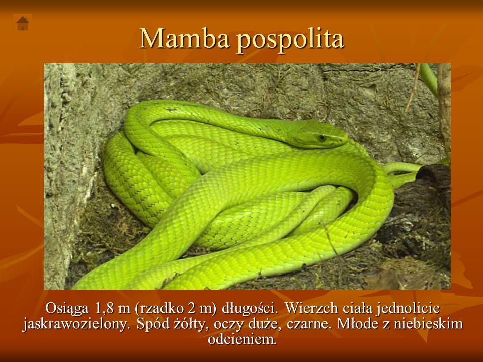Mamba pospolita Osiąga 1,8 m (rzadko 2 m) długości. Wierzch ciała jednolicie jaskrawozielony. Spód żółty, oczy duże, czarne. Młode z niebieskim odcien