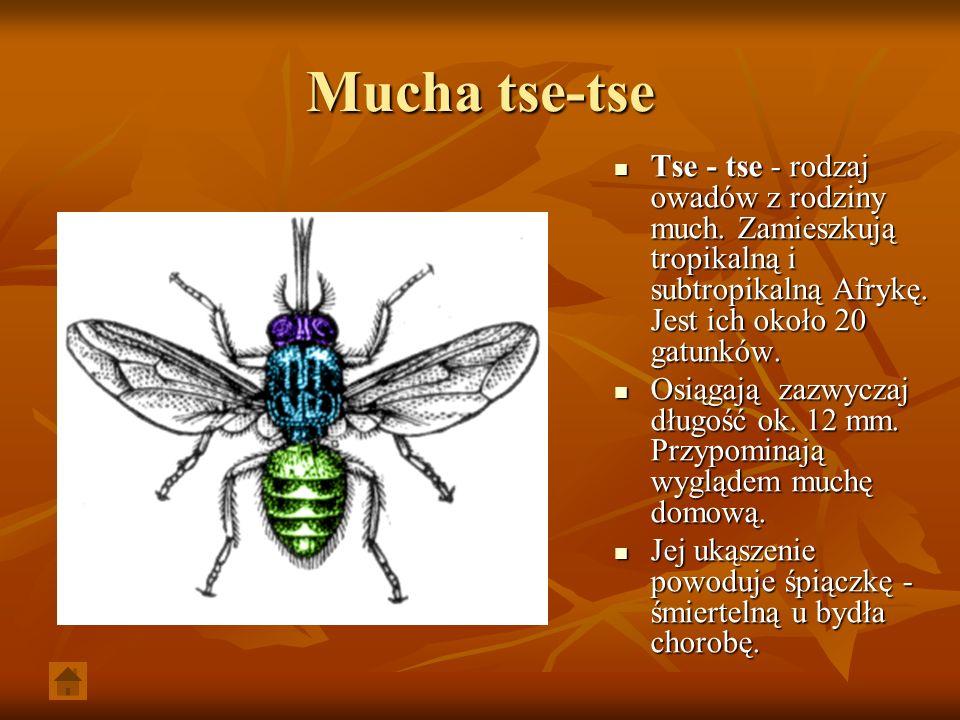 Mucha tse-tse Tse - tse - rodzaj owadów z rodziny much. Zamieszkują tropikalną i subtropikalną Afrykę. Jest ich około 20 gatunków. Tse - tse - rodzaj