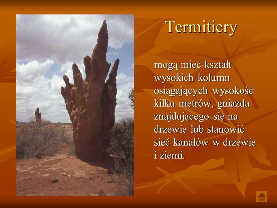 Termitiery mogą mieć kształt wysokich kolumn osiągających wysokość kilku metrów, gniazda znajdującego się na drzewie lub stanowić sieć kanałów w drzew