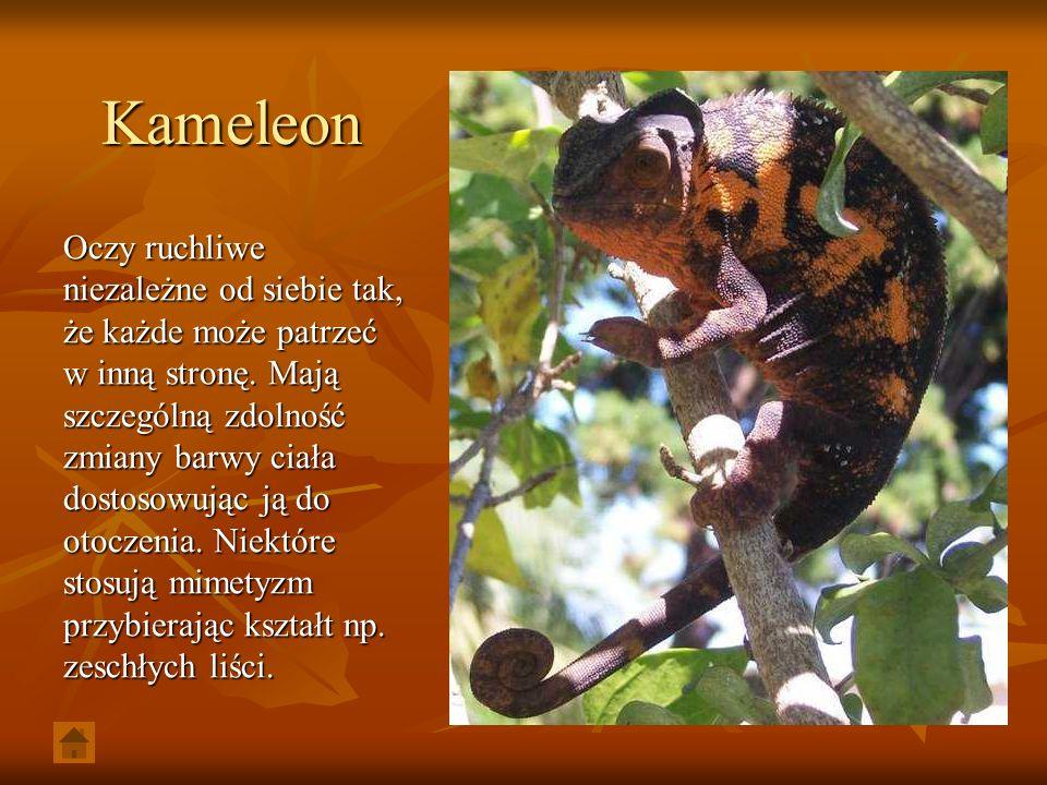 Kameleon Oczy ruchliwe niezależne od siebie tak, że każde może patrzeć w inną stronę. Mają szczególną zdolność zmiany barwy ciała dostosowując ją do o
