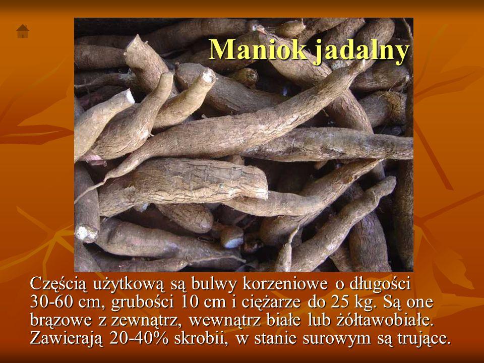 Maniok jadalny Częścią użytkową są bulwy korzeniowe o długości 30-60 cm, grubości 10 cm i ciężarze do 25 kg. Są one brązowe z zewnątrz, wewnątrz białe