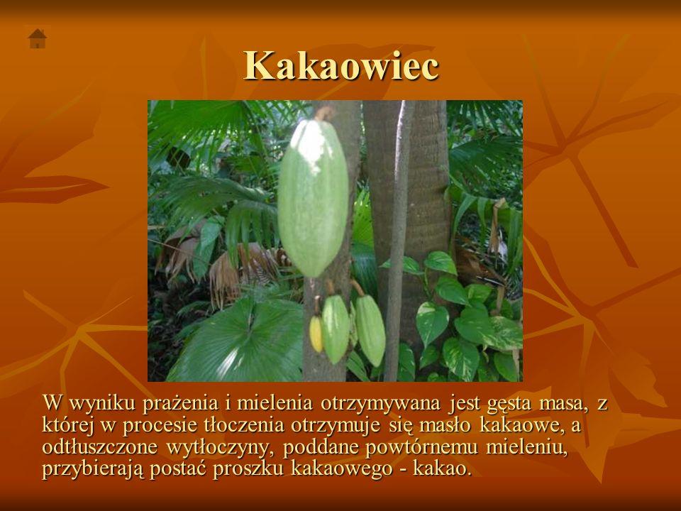 Kakaowiec W wyniku prażenia i mielenia otrzymywana jest gęsta masa, z której w procesie tłoczenia otrzymuje się masło kakaowe, a odtłuszczone wytłoczy