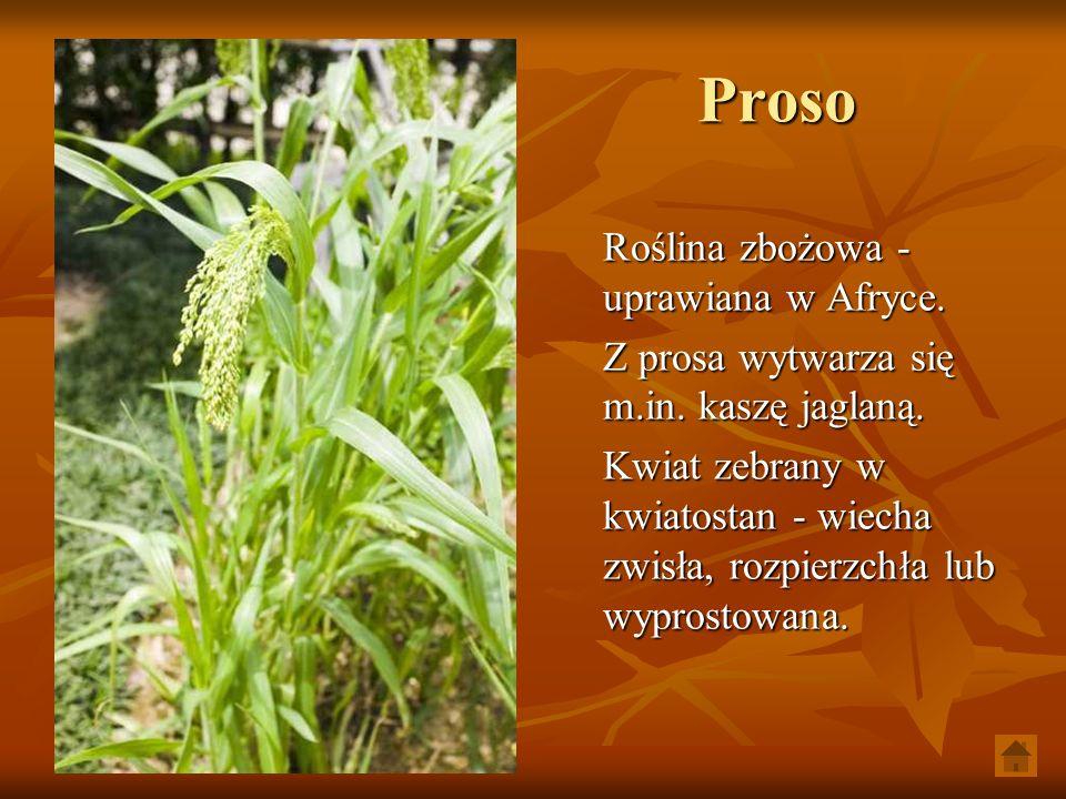 Proso Roślina zbożowa - uprawiana w Afryce. Z prosa wytwarza się m.in. kaszę jaglaną. Kwiat zebrany w kwiatostan - wiecha zwisła, rozpierzchła lub wyp