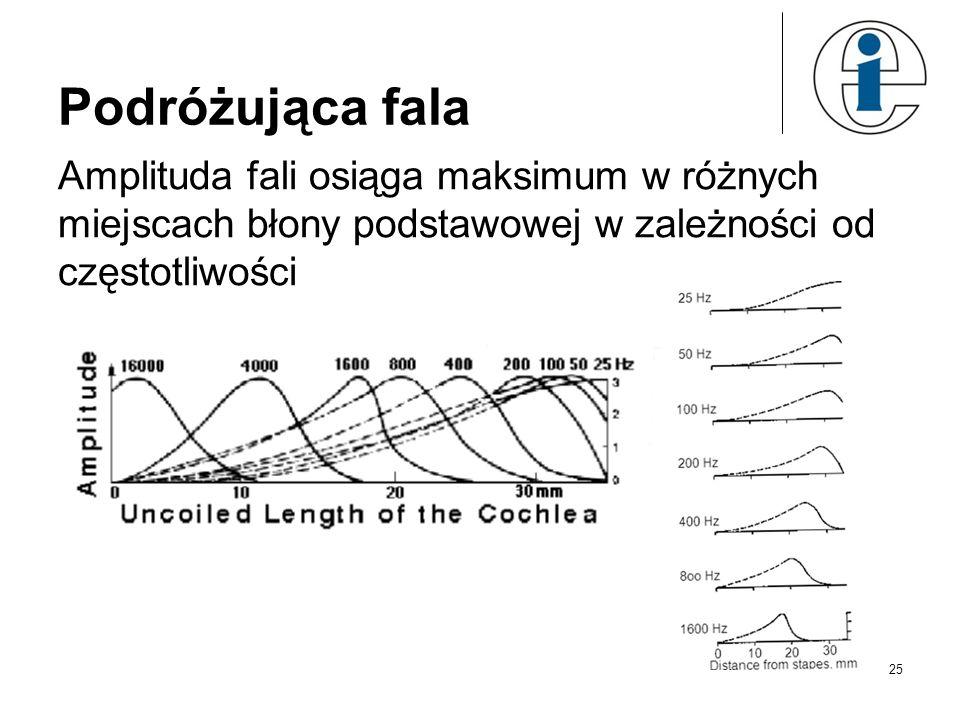25 Podróżująca fala Amplituda fali osiąga maksimum w różnych miejscach błony podstawowej w zależności od częstotliwości