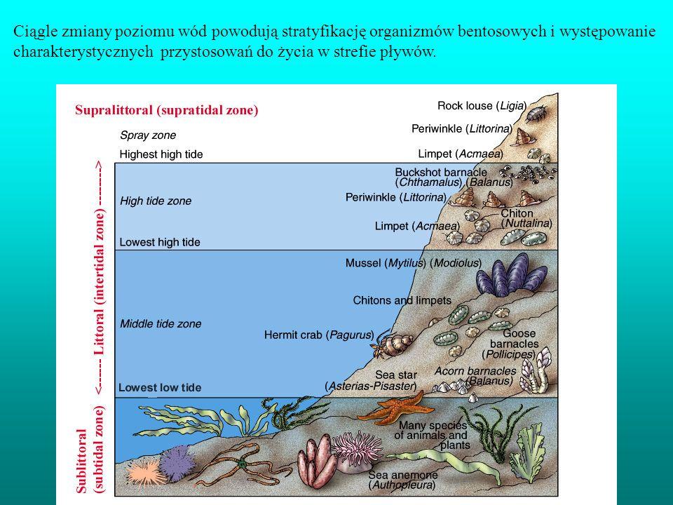 Ciągle zmiany poziomu wód powodują stratyfikację organizmów bentosowych i występowanie charakterystycznych przystosowań do życia w strefie pływów.