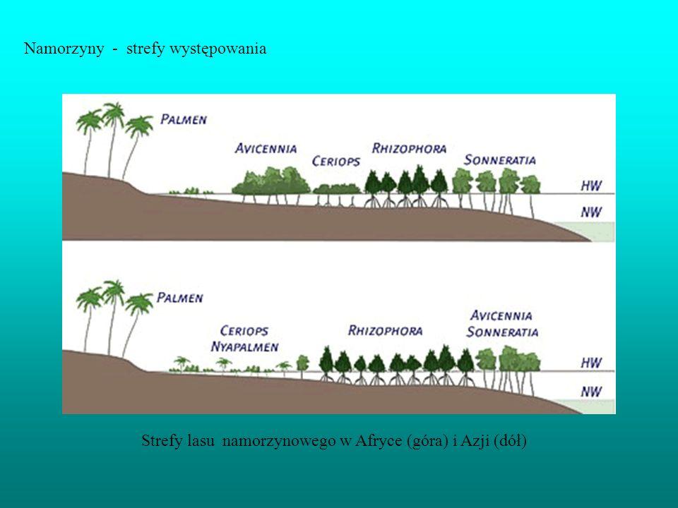 Namorzyny - strefy występowania Strefy lasu namorzynowego w Afryce (góra) i Azji (dół)