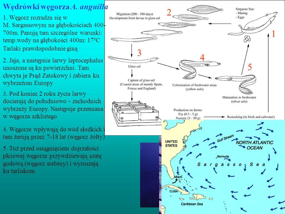 1 2 3 4 5 Młode węgorze (25cm) Wędrówki węgorza A. anguilla 1. Węgorz rozradza się w M. Sargassowym na głębokościach 400- 700m. Panują tam szczególne