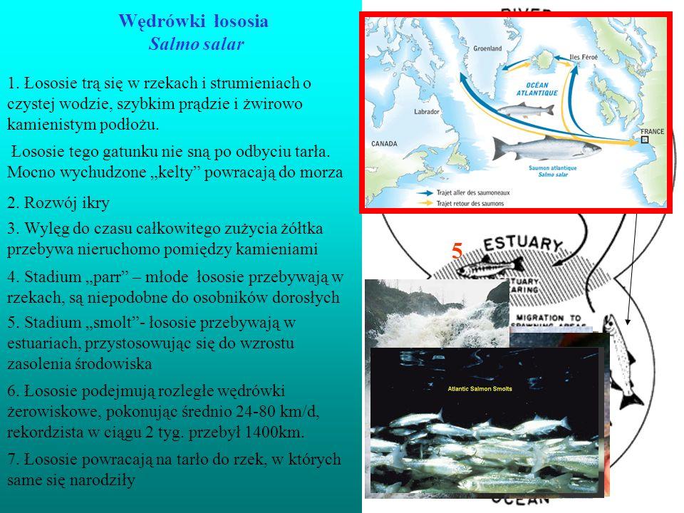 Wędrówki łososia Salmo salar 1. Łososie trą się w rzekach i strumieniach o czystej wodzie, szybkim prądzie i żwirowo kamienistym podłożu. 3. Wylęg do