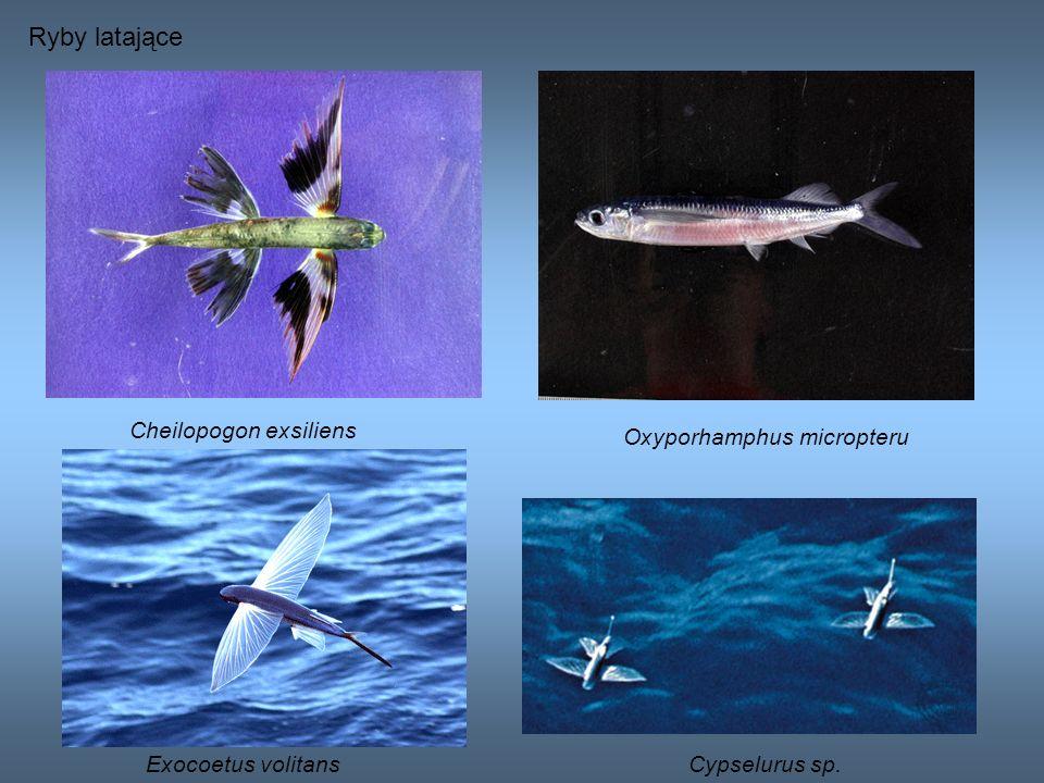 Cheilopogon exsiliens Ryby latające Oxyporhamphus micropteru Exocoetus volitansCypselurus sp.