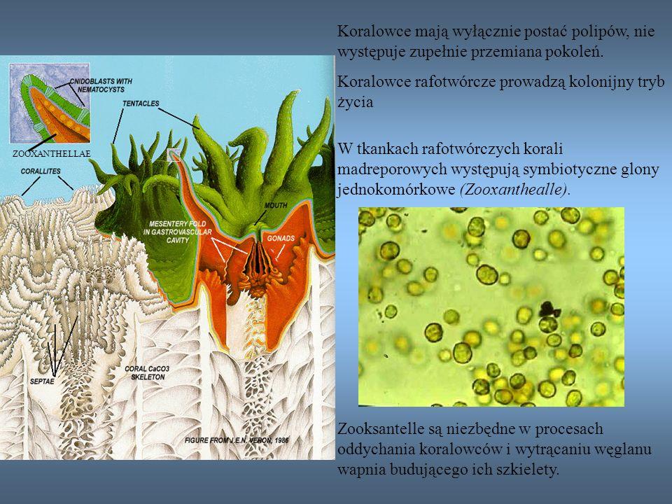 ZOOXANTHELLAE W tkankach rafotwórczych korali madreporowych występują symbiotyczne glony jednokomórkowe (Zooxanthealle). Zooksantelle są niezbędne w p