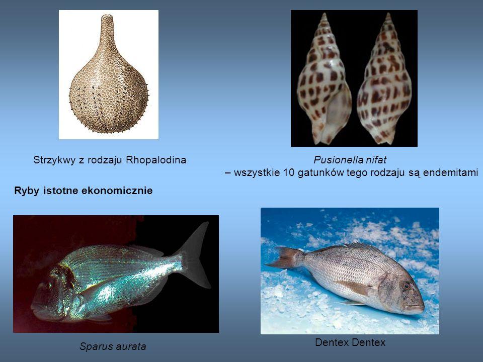 Strzykwy z rodzaju RhopalodinaPusionella nifat – wszystkie 10 gatunków tego rodzaju są endemitami Sparus aurata Ryby istotne ekonomicznie Dentex