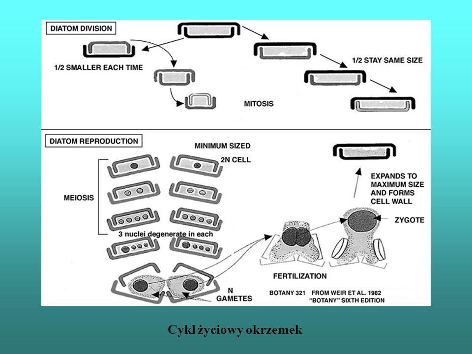 Cykl życiowy Dinophycea