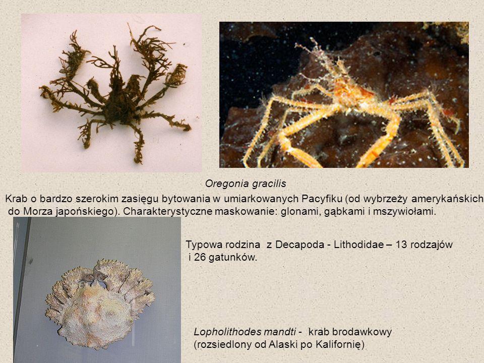 Oregonia gracilis Krab o bardzo szerokim zasięgu bytowania w umiarkowanych Pacyfiku (od wybrzeży amerykańskich do Morza japońskiego). Charakterystyczn