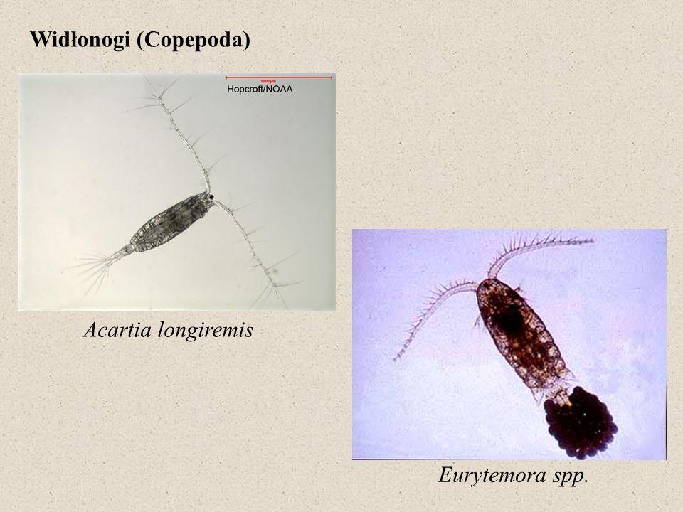 Gammarus oceanicus Idotea baltica Diastylis rathkei Eriocheir sinensis
