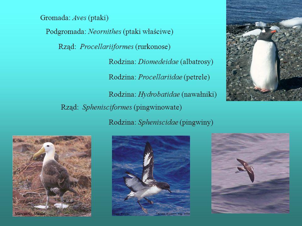 Gromada: Aves (ptaki) Podgromada: Neornithes (ptaki właściwe) Rząd: Sphenisciformes (pingwinowate) Rodzina: Spheniscidae (pingwiny) Rząd: Procellariif