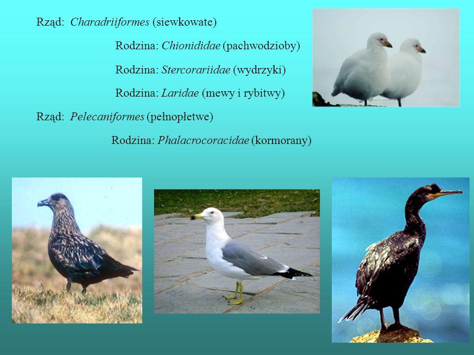Rząd: Charadriiformes (siewkowate) Rodzina: Chionididae (pachwodzioby) Rodzina: Stercorariidae (wydrzyki) Rodzina: Laridae (mewy i rybitwy) Rząd: Pele