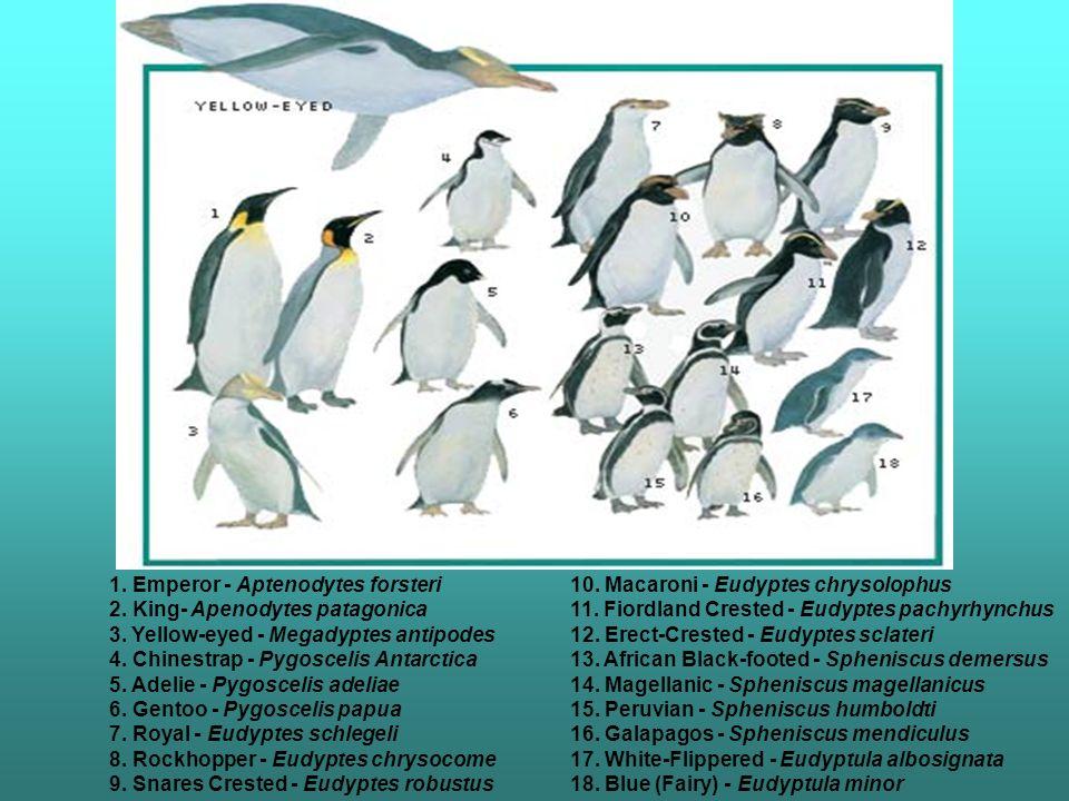 1. Emperor - Aptenodytes forsteri 2. King- Apenodytes patagonica 3. Yellow-eyed - Megadyptes antipodes 4. Chinestrap - Pygoscelis Antarctica 5. Adelie