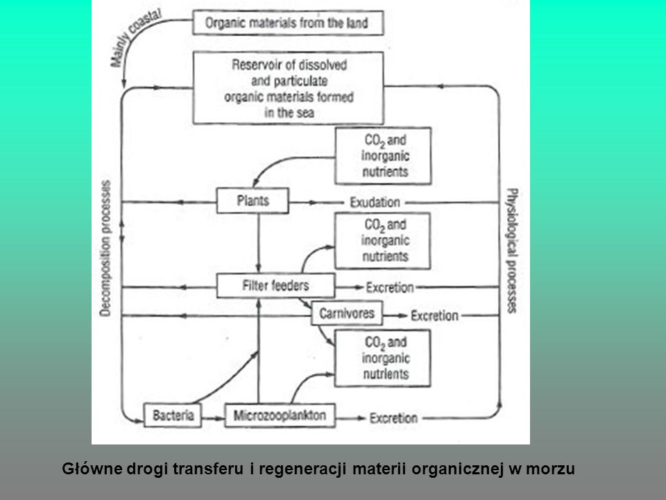 Główne drogi transferu i regeneracji materii organicznej w morzu
