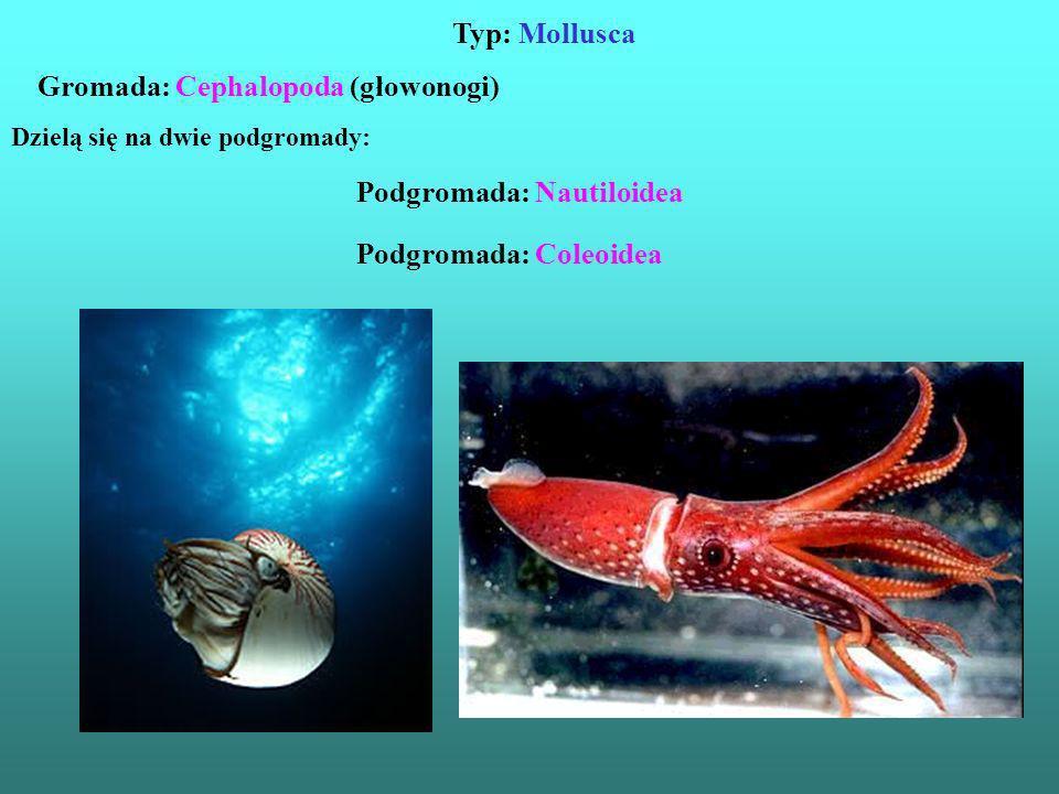 Typ: Mollusca Dzielą się na dwie podgromady: Gromada: Cephalopoda (głowonogi) Podgromada: Nautiloidea Podgromada: Coleoidea