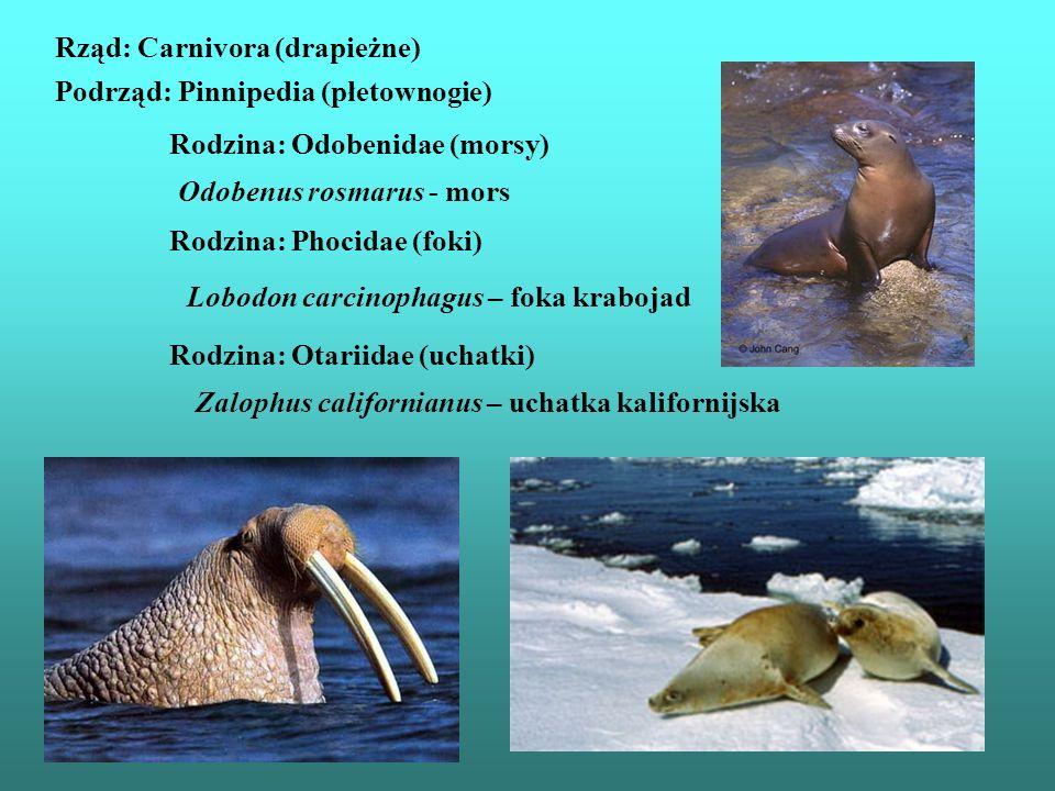 Rząd: Carnivora (drapieżne) Podrząd: Pinnipedia (płetownogie) Rodzina: Phocidae (foki) Rodzina: Odobenidae (morsy) Rodzina: Otariidae (uchatki) Odoben