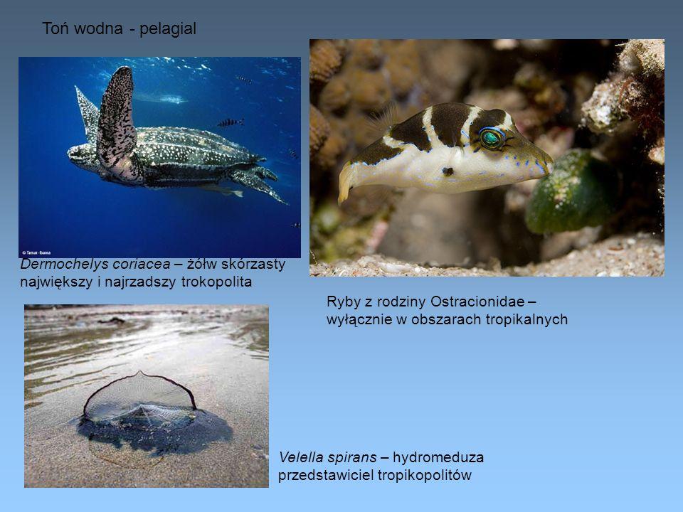 Toń wodna - pelagial Dermochelys coriacea – żółw skórzasty największy i najrzadszy trokopolita Ryby z rodziny Ostracionidae – wyłącznie w obszarach tr