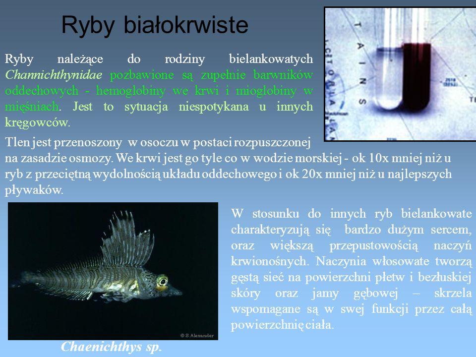 Ryby należące do rodziny bielankowatych Channichthynidae pozbawione są zupełnie barwników oddechowych - hemoglobiny we krwi i mioglobiny w mięśniach.
